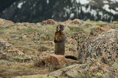 Winter's Watch (www.JnyAroundTheWorld.com - Pictures & Travels) Tags: usa snow mountains animal rockies mammal nationalpark colorado woodchuck groundhog rockymountains whistlepig marmotte tatsunis toundra americanmarmot