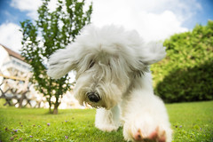 Wanna play with me? (pete.coutts) Tags: oes oespuppy sheepdog sheepdogpuppy oldenglishsheepdog oldenglishsheepdogpuppy mylove mydog bobtail bobtailpuppy