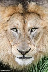 John Closeup (Mark Dumont) Tags: animals cat mammal zoo mark african cincinnati lion dumont