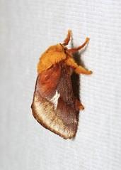 Cup Moth (Miresa cf. bracteata, Limacodidae) (John Horstman (itchydogimages, SINOBUG)) Tags: china macro cup insect moth lepidoptera yunnan onwhite trap limacodidae itchydogimages sinobug