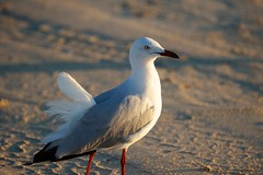 Silver gull, Cable Beach, Broome (jozioau) Tags: kimberley broome silvergull sal70400g2