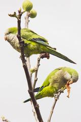 Parrots (Alvimann) Tags: verde green bird birds standing stand wings legs leg wing parrot pajaros patas ala alas pajaro parado parrots verdes loro cotorra pata loros cotorras parados alvimann