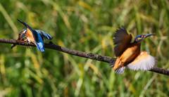 Kingfisher Female Alcedo atthis 072-1 (cwoodend..........Thanks) Tags: 2016 brandon brandonmarsh steetleyhide westmarshpool wwt warwickshirewildlifetrust kingfisher kingfisherfemale alcedoatthis