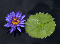 Lily and Pad (s.d.sea) Tags: flowers summer plants chicago flower reflection green nature water floral garden outdoors illinois midwest lily purple pentax pad northshore glencoe botanic aquatic lilypad enjoyillinois k5iis