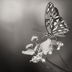 Ageless Tones of Summer (Charles Opper) Tags: agraulisvanillae canon canon70200mm canon7d fritillary georgia gulffritillary heliconiinae lantana midway nymphalidae passionbutterfly summer blackandwhite bokeh butterfly garden insect light monochrome nature tones