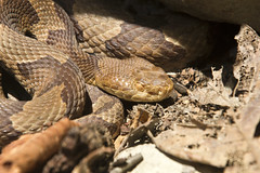 Copperhead Close (nicoangleys) Tags: maryland herping snakes copperhead