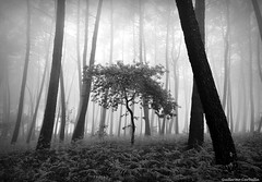 B&w version (Guillermo Carballa) Tags: bw forest woods fog mist trees oak pines carballa light olympus e1