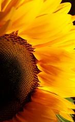 Flower Power (christiane.grosskopf) Tags: sunflower yellow orange sonnenblume macro gelb sonnig sunny detail flowerpower samsungs4 samsunggalaxys4 blossom blhte