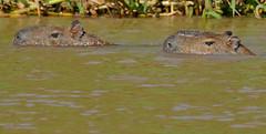 Capybaras (Hydrochoerus hydrochaeris) couple swimming (male right) (berniedup) Tags: riosoloureno portojofre pantanal pocon capybara hydrochoerushydrochaeris taxonomy:binomial=hydrochoerushydrochaeris animal