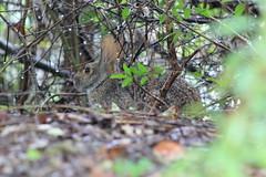 IMG_2433 (im2fast4u2c) Tags: rabbit cotton tail wilderness wildlife animal