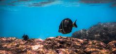 DSCN1802 (reflective perspicacity) Tags: hawaiianvacation hawaii nikonaw120 underwaterphotography july2016 summer vacation hono honolulu hanaumabay underwaterpreserve seaturtle fish convicttang school palmtrees hangloose