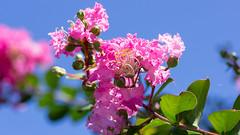 201608_10_2560 (noriko_v) Tags: crapemyrtle flower summer nature