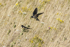 Two Swallows in the Long Grasses (stevedewey2000) Tags: grasses grass birds swallows sony70300g kenko14xtc salisburyplain wiltshire
