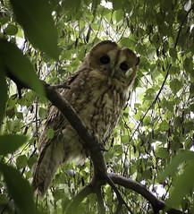 Looking (Kerryjal) Tags: owl tawny wildlife bird prey birmingham treetop