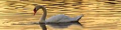 Mute Swan At Sunset (vernonbone) Tags: muteswan sunset bird water