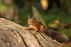 Is this where I get my nails done? D75_5223.jpg (Mobile Lynn) Tags: nationaltrust rodents wild brownseaisland redsquirrel nature fauna mammal mammals rodentia wildlife purbeckdistrict england unitedkingdom gb coth specanimal greatphotographers ngc coth5 sunrays5 npc