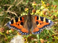 Small Tortoiseshell (Peanut1371) Tags: smalltortoiseshell tortoiseshell insect butterflie butterfly wings black orange blue nationalgeographicwildlife