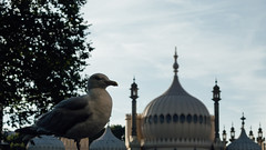 Brighton Icons (Edward Moore as edshots) Tags: sony rx100 rx100ii compact brighton uk colour color seagull bird landmark pavilion tree 16x9