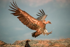 Aterrizaje (chuscordeiro) Tags: buitre leonado carpetania sierra lozoya buitrago hide ave bird pajaro vulture naturaleza fauna pluma ala aterrizaje iso 10000 canon 1dxmarkii sigma150600 luz color espaa