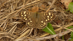 Speckled Wood Pararge aegeria (pa-RAH-jee ee-JEER-ee-uh)  (Explored). (pete Thanks for 5 Million Views) Tags: colchester
