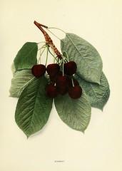 n300_w1150 (BioDivLibrary) Tags: fruitculture newyorkstate prunuscerasus rosaceae newyorkbotanicalgardenluesthertmertzlibrary bhl:page=15336073 dc:identifier=httpbiodiversitylibraryorgpage15336073