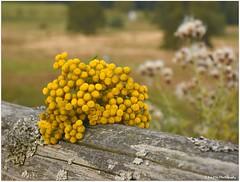 Rainfarn (mayflower31) Tags: blume flower herbst autumn rainfarn gelb yellow
