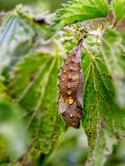 Admiral-Strzpuppe (novofotoo) Tags: grn insekten makro natur ontogenese puppe strzpuppen tiere animals green insects macro nature pupa suspendedpupa