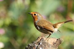 Posing Robin (david.england18) Tags: robinredbreast robin strut smallbirds various tits blue coal great nuthatch birdsuk canonef300mmf4lisusm canon7d