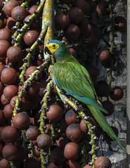 Orthopsittaca manilata (S.J. Trinidad & Tobago Nature) Tags: neotropic nature birds birdsofttrinidad stephenjay photography macaws wildlife moriche palm thewildlife trinidad tobago