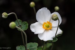 Japanese anemone (Yorkey&Rin) Tags: 10月 2016 autumn em5 flower inmygarden japan japaneseanemone kanagawa kawasaki macro october olympus olympusm60mmf28macro rin ta132301 シュウメイギク 秋 庭