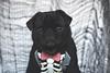 Pugoween - Skeleton (itsapugblog) Tags: dog halloween pug howloween pugoween
