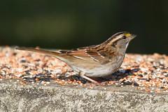 White-throated Sparrow (Scott Alan McClurg) Tags: life autumn wild green bird nature yard back backyard song wildlife seed feeder eat feed smallbirds songbird naturephotography