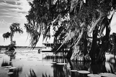 28 (kylen.louanne) Tags: portrait nature cat louisiana alligator gators bayou swamp cypresstrees lakemartin breauxbridge swampcat
