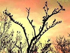 blackbird art (moonjazz) Tags: birds black tree winter blackbird photo art flock limb silhouette canon moonjazz perch flckr nature best bare branches november stark photography flccks behavior light
