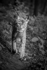 Here's looking at you, kid... (*altglas*) Tags: eyes augen lynx raubkatze luchs