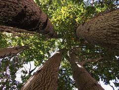 Persea lingue (Mono Andes) Tags: chile forest bosque andes lingue chilecentral regindelbiobo floranativadechile huequecura persealingue