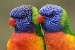 Rainbow Lorikeets - Twins_8022E (Neil H Mansfield) Tags: bird nature rainbow lorikeet rainbowlorikeet trichoglossushaematodus