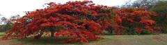 Boughs abloom  .  .  . (ericrstoner) Tags: brasília delonixregia flamboyant flametree distritofederal bough galho royalpoinciana