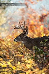 Whitetail Buck in Autumn (www.matthansenphotography.com) Tags: autumn trees sunset color fall nature animal backlight forest woods wildlife hunting deer antlers rack editorial buck backlighting publication biggame whitetaildeer whitetailbuck matthansenphotography