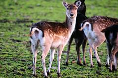 Deer (Gordon McKinlay) Tags: nature animals scotland farm wildlife perthshire deer kinross