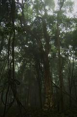 Morning Peace (stevendorman68) Tags: mist mountains tree nature leaves rainforest vine