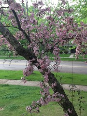 "Crabapple Tree • <a style=""font-size:0.8em;"" href=""http://www.flickr.com/photos/109120354@N07/15665005198/"" target=""_blank"">View on Flickr</a>"