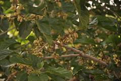 توت میوه فصل اردیبهشت تا تیر ماه (طرقبهtorghabeh) Tags: ماه تا تیر توت میوه فصل اردیبهشت