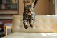. (rampx) Tags: cat jump action kittens hana neko   miaw