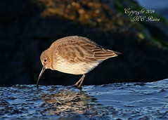 Magic Hour Dunlin (Non Breeding, 2 of 4) at Barnegat Lighthouse State Park of New Jersey (takegoro) Tags: ocean sunset lighthouse reflection nature state wildlife jetty lbi barnegat dunlin park new jersey island bird golden magic shore jersey hour shore birds longbeach barnegat