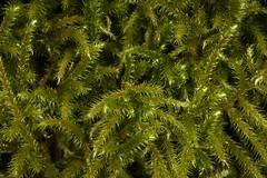 Der Schne Runzelpeter (ipunktq) Tags: pflanzen moose moos bryophyta bryales rhytidiadelphusloreus laubmoos schnerrunzelpeter