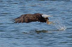 _MG_4357_lzn (sfink16) Tags: eagle flight bald baldeagles in conowingodam