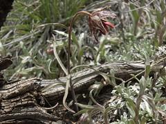leopard lily, Fritillaria atropurpurea (Jim Morefield) Tags: california flowers red brown flower green yellow bulb succulent spring flora unitedstates whitemountains olympus bulbs wildflowers wildflower bishop crookedcreek greatbasin evolt fritillaria liliaceae leopardlily e510 monocot lilyfamily subalpine inyonationalforest 6petals fritillariaatropurpurea wfgna monocounty angiosperm geophytes taxonomy:family=liliaceae taxonomy:genus=fritillaria olympuse510 eswild taxonomy:common=leopardlily taxonomy:binomial=fritillariaatropurpurea cnpsok jdm20090243 geo:alt=3030m