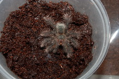 "Theraphosa stirmi cb14 sling feeding • <a style=""font-size:0.8em;"" href=""http://www.flickr.com/photos/77637771@N06/15977791735/"" target=""_blank"">View on Flickr</a>"