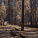 Burnt forrest on the way to Merced lake, Yosemite